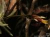 Tillandsia capillaris spécimen #2 (forma incana = T. capillaris) inflorescence