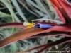 Tillandsia capitata Red form (aussi appelée T. capitata var. rubra) fleur