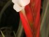 Tillandsia caulescens spécimen #1 fleur