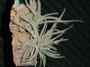 Tillandsia crocata spécimen #1 (à petites fleurs pâles)