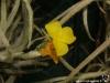 Tillandsia crocata spécimen #2 (à fleurs larges et jaune vif) fleur