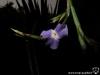 Tillandsia duratii var. saxatilis fleur