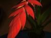 Tillandsia dyeriana inflorescence