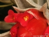Tillandsia edithae fleur
