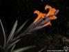 Tillandsia erici inflorescence