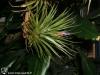 Tillandsia espinosae Ecuador form