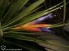 Tillandsia espinosae Ecuador form inflorescence