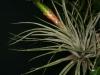 Tillandsia fasciculata spécimen #1 (2013)