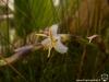 Tillandsia filifolia fleurs blanches
