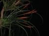 Tillandsia flabellata spécimens #1 (en haut) et #2 (en bas)