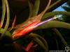 Tillandsia flabellata spécimen #1 fleur