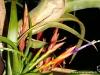 Tillandsia flabellata spécimen #1 inflorescence