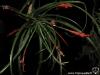 Tillandsia flabellata spécimens #2 inflorescence