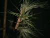 Tillandsia floribunda
