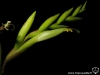 Tillandsia fresnilloensis fleur