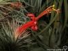 Tillandsia funckiana spécimen #2 fleur