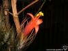 Tillandsia funckiana spécimen #1 fleur