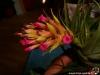 Tillandsia geminiflora inflorescence