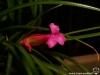 Tillandsia globosa fleur