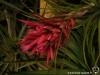 Tillandsia globosa inflorescence