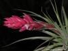 Tillandsia 'Houston' (T. stricta x T. recurvifolia) inflorescence. Ce cultivar était à l'origine considéré comme issu d'un hybride entre T. stricta et T. meridionalis)