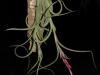 Tillandsia intermedia spécimen #2