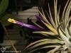 Tillandsia ionantha 'Rubra' fleur