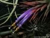 Tillandsia ionantha var. ionantha spécimen #1 fleur