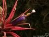 Tillandsia ionantha 'Fuego' spécimen #1 fleur