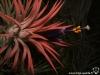 Tillandsia ionantha 'Silver' fleur