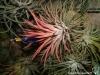 Tillandsia ionantha 'Silver' en pleine floraison