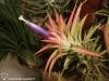 Tillandsia ionantha var. vanhyningii inflorescence