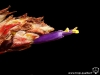 Tillandsia juncea fleur
