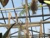 Tillandsia latifolia âgé du plusieurs dizaines d'années (photo prise au Jardin Botanique du Montet)