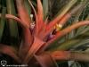 Tillandsia capitata var. guzmanioides (acheté T. lautnerii) fleur