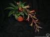 Tillandsia leiboldiana