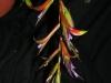 Tillandsia leiboldiana inflorescence