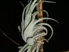 Tillandsia recurvifolia var. subsecundifolia spécimen #1 (2010)