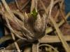 Tillandsia lepidosepala inflorescence