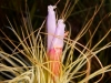 Tillandsia magnusiana inflorescence