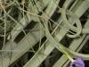 Tillandsia mallemontii inflorescence