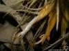 Tillandsia matudae inflorescence