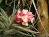 Tillandsia recurvifolia (ex syn. Tillandsia meridionalis)