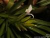 Tillandsia monadelpha inflorescence
