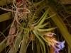 Tillandsia neglecta spécimen #1