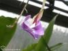 Tillandsia paleacea fleur