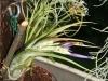 Tillandsia paucifolia spécimen #1