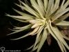 Tillandsia plagiotropica fleur
