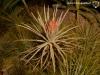 Tillandsia plumosa (forme à pédoncule court)