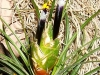 Tillandsia punctulata inflorescence
